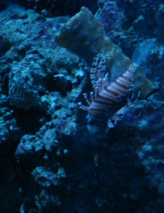 Ancol trip - Sea World - Common Lionfish