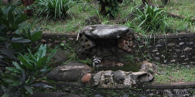 Ragunan zoo - Cute Raccoon