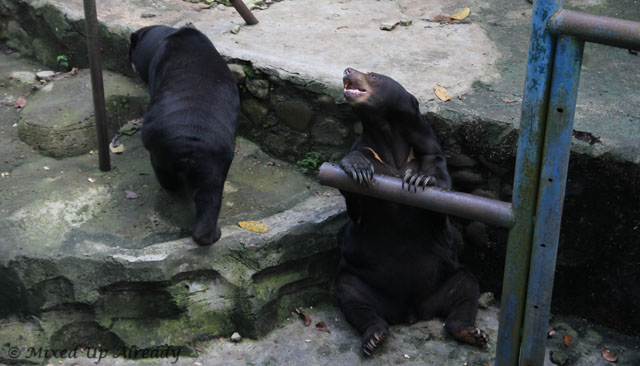 Ragunan zoo - Honey Bear (Beruang Madu)