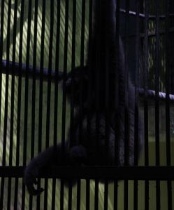 Ragunan zoo - Monkey