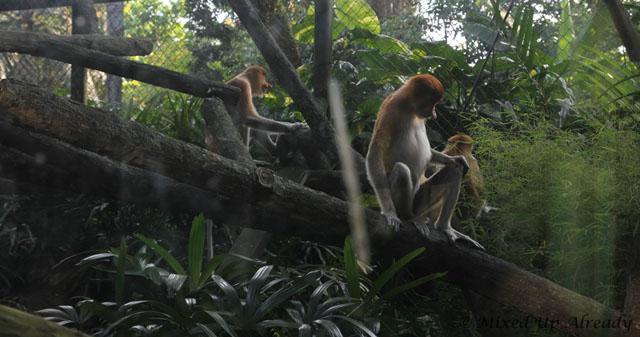 Ragunan zoo - Schmutzer - Bekantan