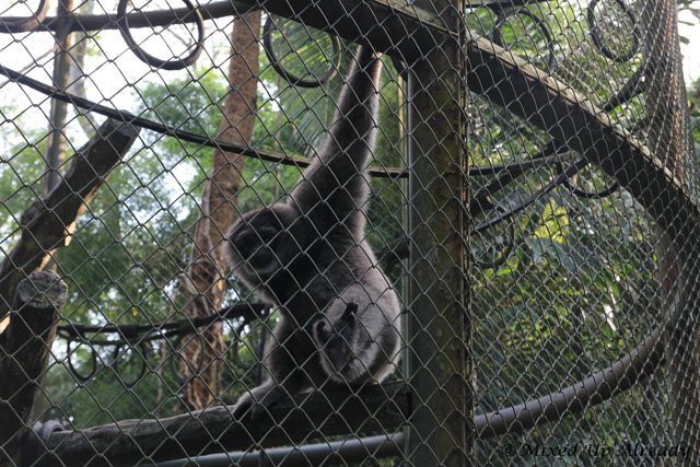 Ragunan zoo - Schmutzer - Owa Jawa