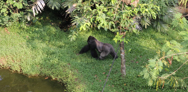 Ragunan zoo - Schmutzer - The gorilla (from above)