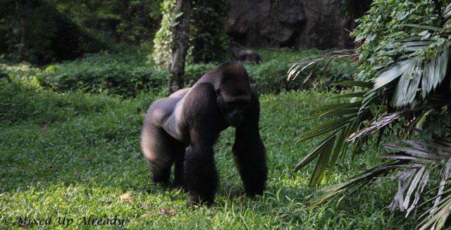 Ragunan zoo - Schmutzer - The gorilla