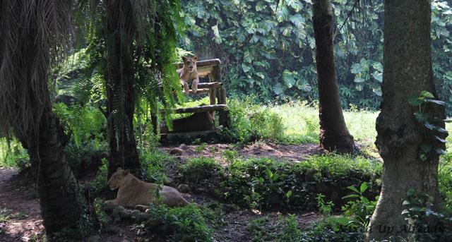 Ragunan zoo - The Lion (Singa)