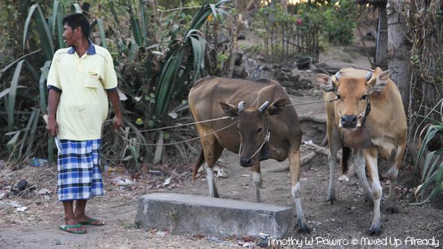 Lombok slomo trip - A person was herding the buffalo