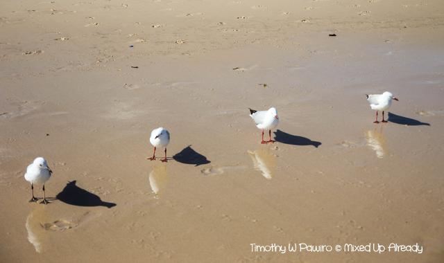 Australia trip - Sydney - Bondi - Seagull acting as boyband